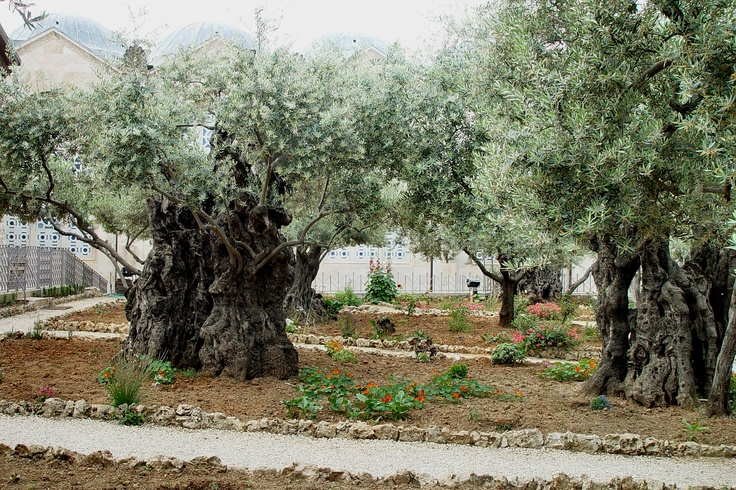 1000 images about places id like to see on pinterest for Age olive trees garden gethsemane