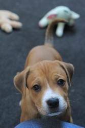 Dewey: Lab/Boxer Mix