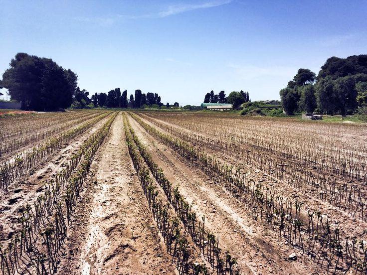 #salentowebtv #difendiamogliulivi  Oggi Salentoweb.Tv vuole ascoltare le voci dei viticoltori e del sindaco di #Otranto in merito al blocco delle esportazioni di barbatelle, patrimonio del territorio otrantino.