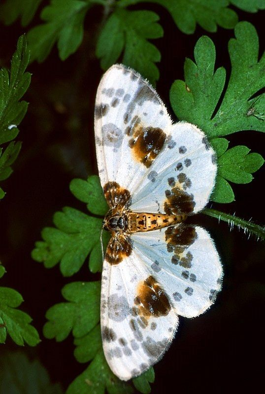 "Clouded Magpie (abraxas sylvata) ~ Miks' Pics ""Butterflies and Moths l"" board @ http://www.pinterest.com/msmgish/butterflies-and-moths-l/"