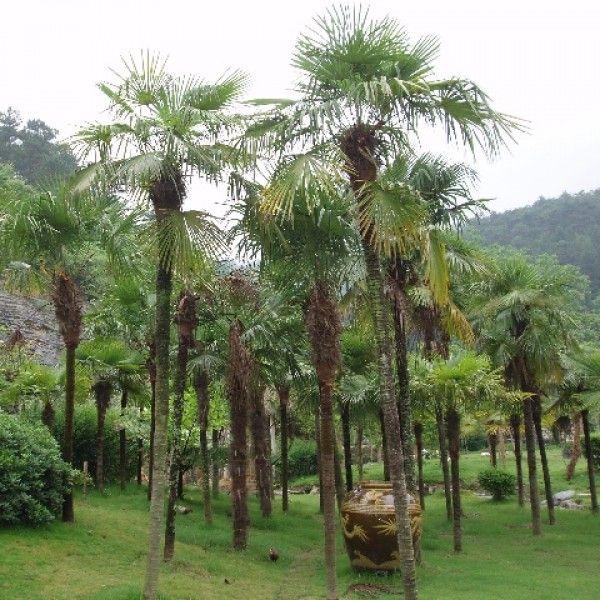 les 25 meilleures idées de la catégorie palmier trachycarpus sur