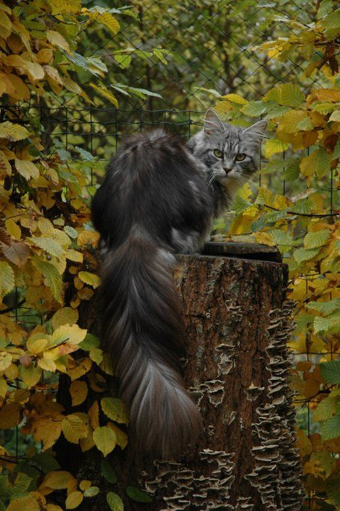 Maine Coon, Black Silver Tabby & White. Kanto of Shadowlady