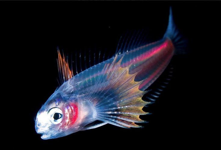 """Pesci, seppie, meduse e altre creature dell'oceano sono i protagonisti insoliti degli scatti di Joshua Lambus. Il fotografo-sub è l'autore dei ritratti luminescenti catturati negli abissi delle Hawaii per documentare il patrimonio ittico meno conosciuto. Nella serie """"Blackwater"""" le"""