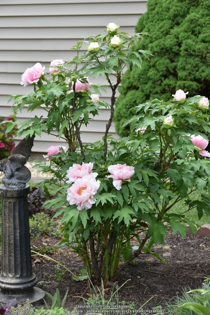 Peonies: Plant Care and Collection of Varieties - Garden.org