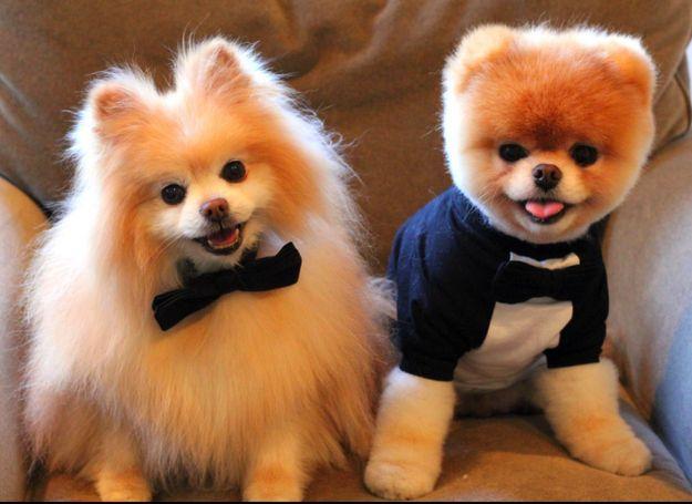 """Boo"", the world's CUTEST Pomeranian"