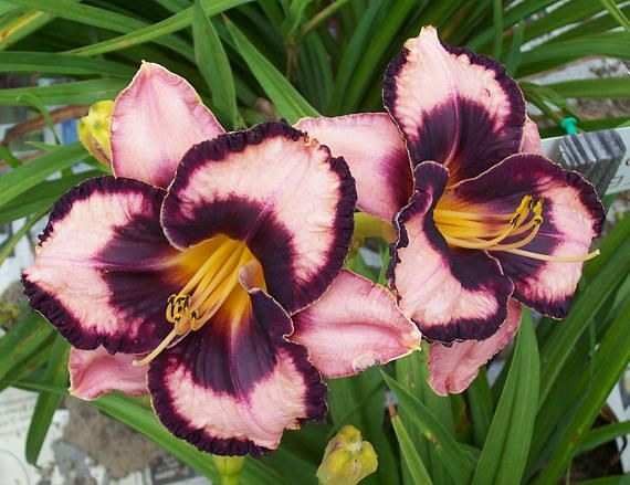THIS IS ONE OF OUR DAYLILY SEEDLINGS THAT WE HAVE PRODUCED THROUGH OUR BREEDING PROGRAM. THIS DAYLILY IS UNIQUE TO OUR NURSERY, NO ONE ELSE HAS IT. Serious Stuff (S-903) 23 tall, evergreen, mid season, 6 bloom, tetraploid. Orchid with a plum-violet eye and edge and a green throat. Reblooms. Dramatic and stunning in the garden!!! This listing is for a blooming size, 2 fan division, shipped bareroot. We will combine items to save you on shipping costs. Since we dig these plants up and divide…
