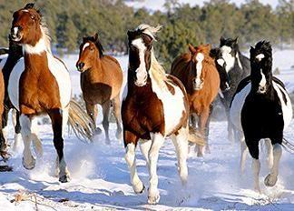 Black Hills Wild Horse Sanctuary, wild mustangs, wild horses, American mustangs