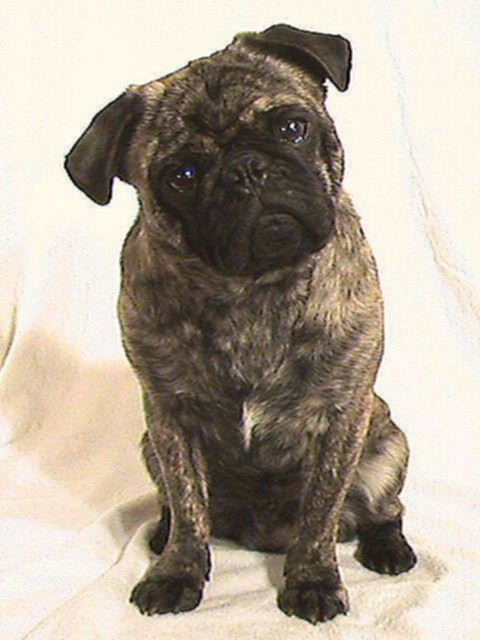 Brindle Pug! Looks like I'm gonna have to have 3 pugs, not just 2! I insist to have one of each color!