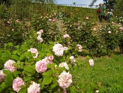 The Rose Garden in Florence is a place of extraordinary beauty, where there are many types of roses and other plants. Open from 8am to 8pm, with free entrance, the garden houses a collection of roses, lemons, and other plants.