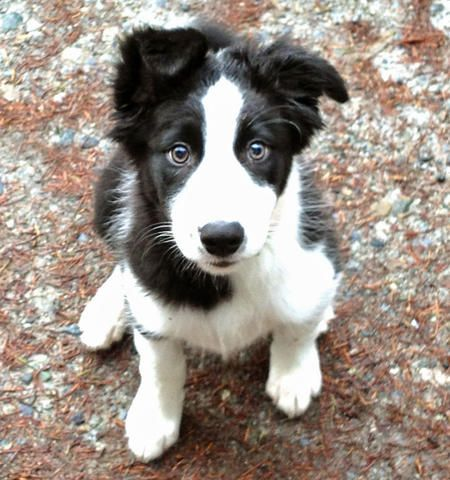 Sweet Border Collie. Who could say no to that face?