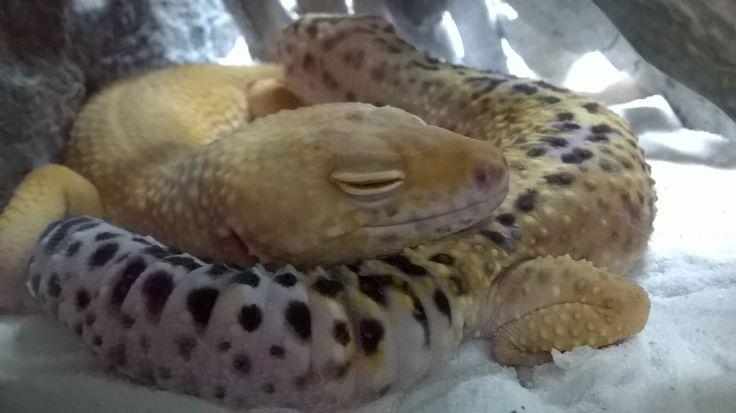 The lucky gecko boy