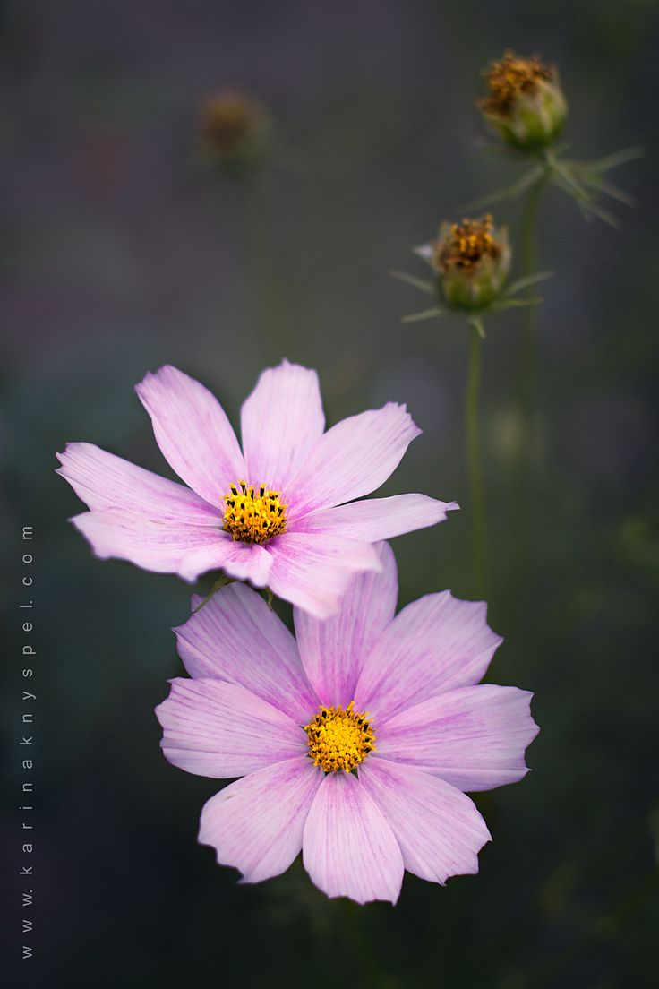 Cosmos - If you like my photos, like me on facebook please: <a…