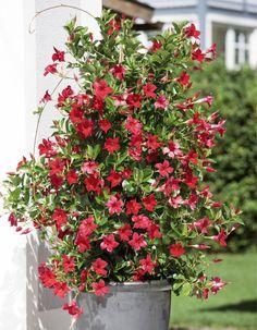 Die Dipladenie, auch Mandevilla genannt, ist unter den Kübelpflanzen ein echter Dauerblüher. Die exotische Schlingpflanze begrünt Sichtschutz, Rankgerüste und Balkongeländer.