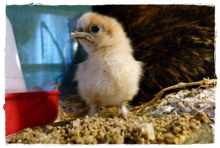 Velvets fast little chick... :)