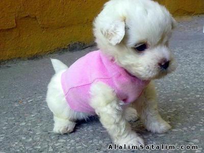 Teacup Havanese | ... Hayvanlar Köpek Pekinez - 0 numara ...