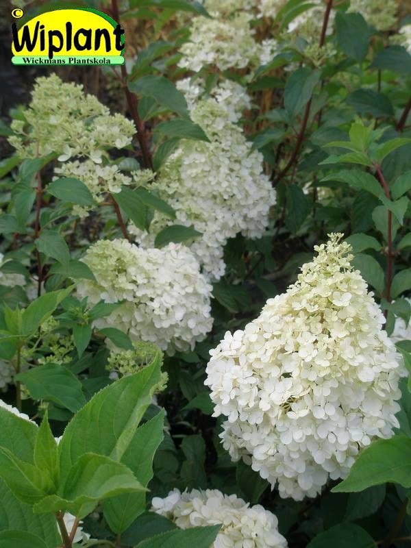 Hydrangea pan. 'Vanille Fraise', Syrenhortensia. Stora vaniljfärgade blommor som övergår i rosa.  Surjordsväxt pH 4-5.  Höjd: 1,5 m.