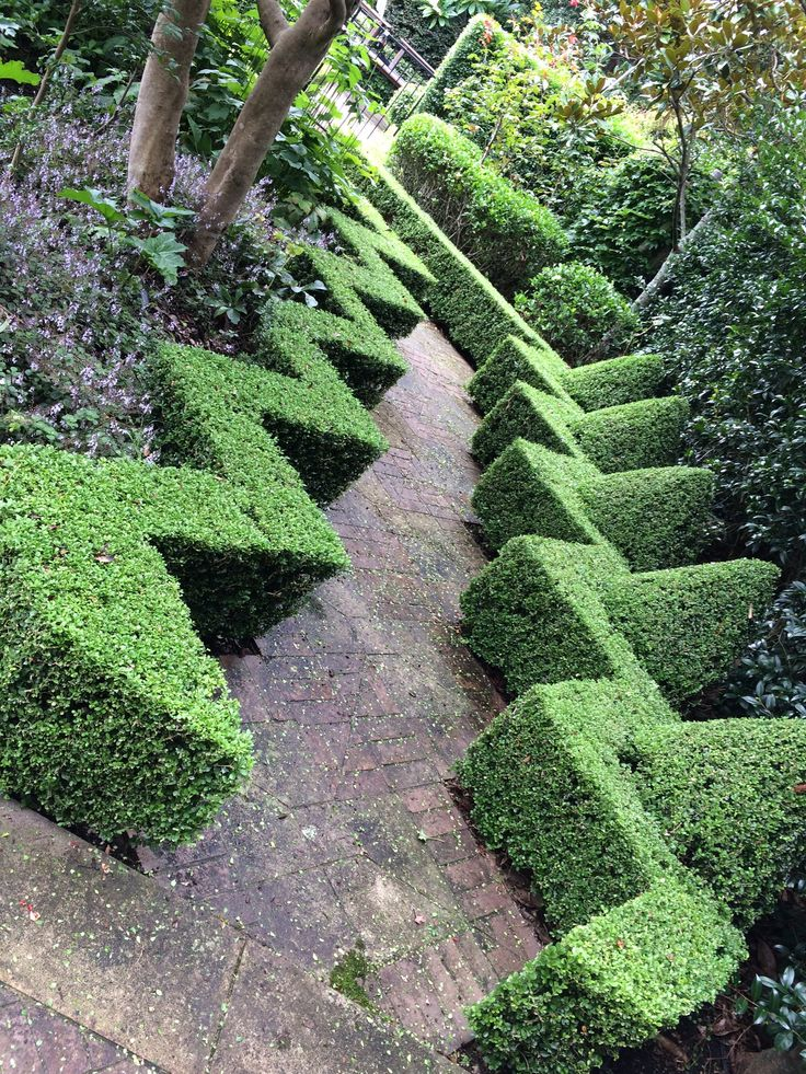 Topiary, Buxus microphylla Japonica