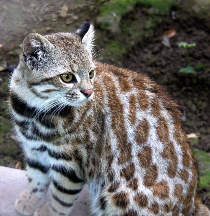 Pampas cat (Leopardus pajeros) is a small cat native to Argentina, Chile, Bolivia, Peru, Ecuador and Columbia. This variant has flanks with large, reddish-brown, rosette-shaped spots with darker borders, numerous rings on the tail (of the same colour as the flank spots), and very dark brown (almost black) stripes on the legs and spots/stripes on the underparts. In colour and pattern, this group closely resembles colocolos of the subspecies L. colocolo wolffsohni.