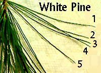 5 needles of the White Pine. Easy to identify and safest choice for foraging beginners.