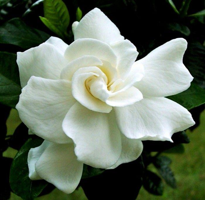 garden-plant-gardenia-flowers-white-beautiful.jpg (700×684)
