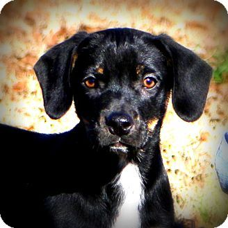 Glastonbury, CT - Boxer/Rottweiler Mix. Meet Lacey, a puppy for adoption. http://www.adoptapet.com/pet/17309376-glastonbury-connecticut-boxer-mix