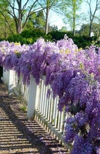 Wisteria vine - one of my favorites in the spring time at Colonial Wmburg