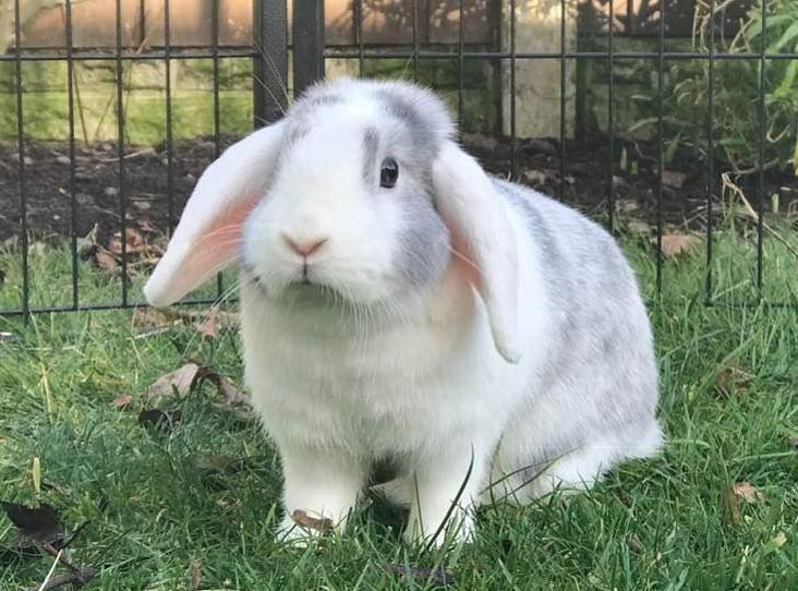 Arabella Find A Pet Rspca Org Uk Cute Animals Domestic Rabbit
