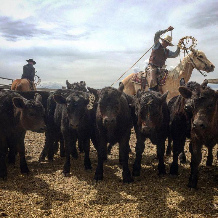 Got a live one!  -- #branding #roping #horses #cowboy