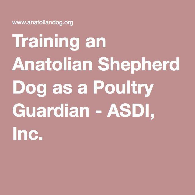 Training an Anatolian Shepherd Dog as a Poultry Guardian - ASDI, Inc.