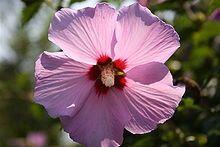 La Rosa de Siria es la flor nacional y uno de los símbolos de Corea del Sur.