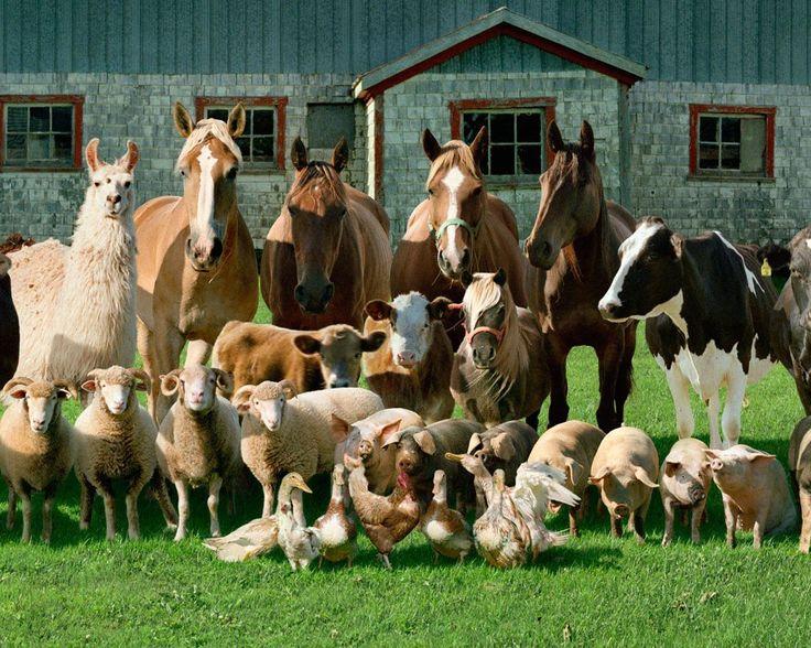 Фотограф Rob Macinnis создал серию фотографий, представляющих собой семейные портреты животных, живущих на одной ферме. Все как у людей!