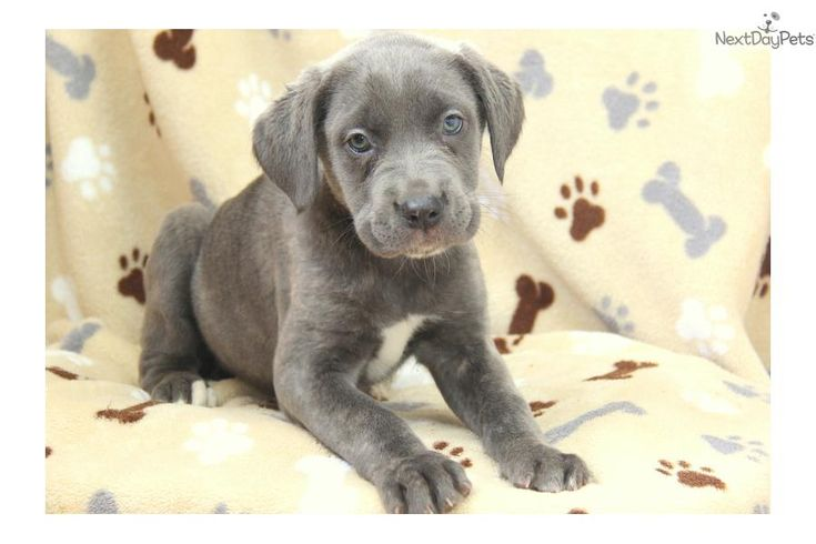 Mastidane Puppies For Sale Ohio Eydt