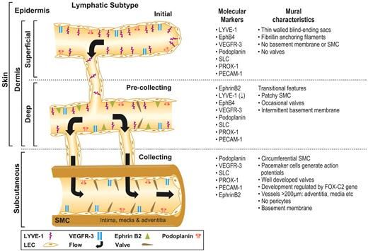 Schematic representation and molecular characteristics of lymphatic vessel subtypes found in the dermal and subcutaneous layers of normal mammalian skin. The initial lymphatic capillaries are blind-ending vessels within the superficial layers of the dermis, which collect fluid and cells for transportation to the pre-collecting vessels. The pre-collecting vessels are located in the deeper layers of the dermis and are characterized by the appearance of valves, a basement membrane and SMCs…