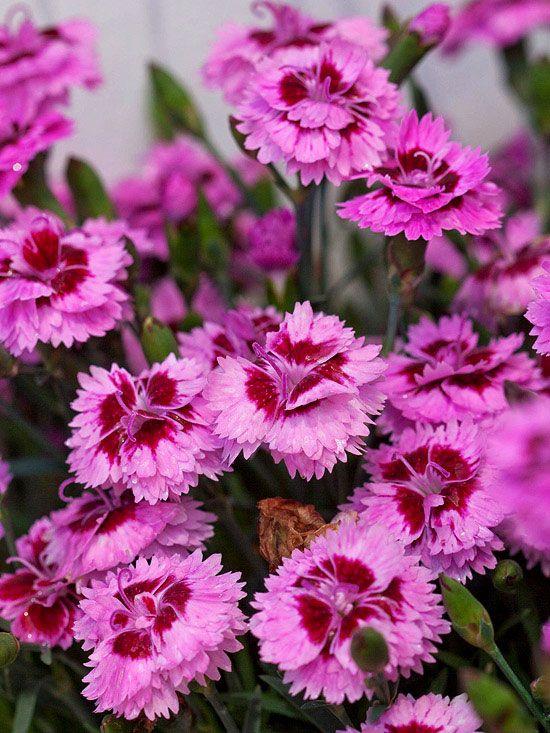 Stunning EverLast dianthus blooms all season long. More new perennials: http://www.bhg.com/gardening/flowers/perennials/new-perennials/?socsrc=bhgpin051613everlastdianthus