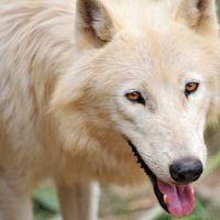 Wolves - Anatomy - Behavior - Conservation - Social life