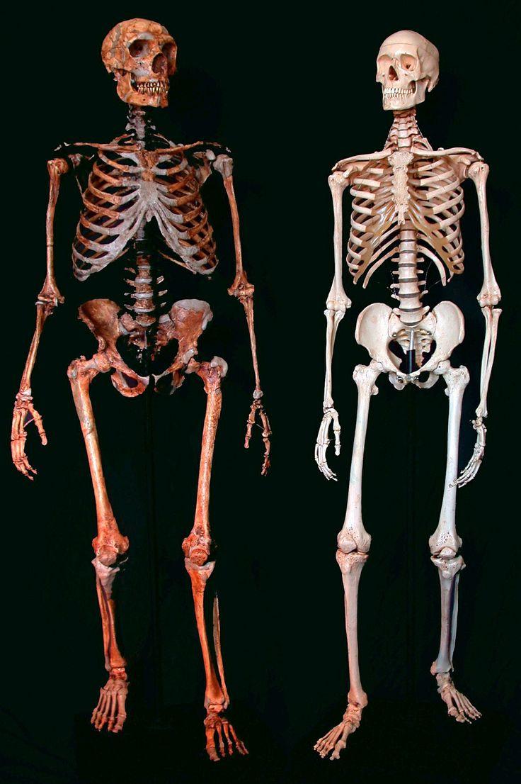 Neanderthal & Human skeleton