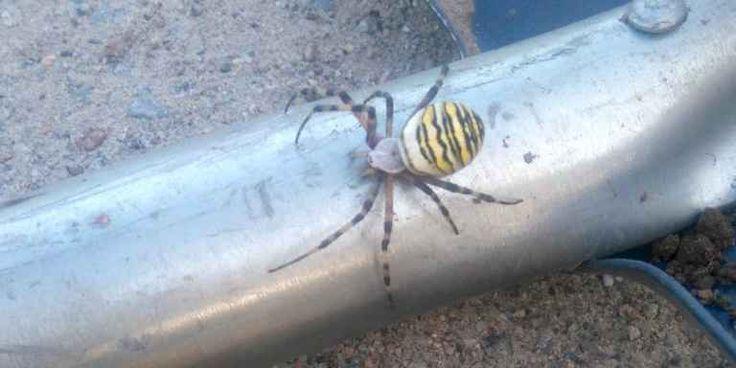 Men vad är det där för spindel? Getingspindeln med gulsvart kropp och långa ben satt plötsligt i gräset på slänten i Gungvala. Medelhavsarten har sakta spridit sig också till Blekinge.