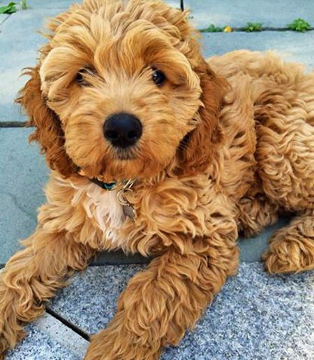 Lucy the Cockapoo -- Puppy Breed: English Cocker Spaniel / Poodle