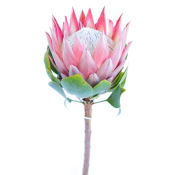 Protea King Stem 350