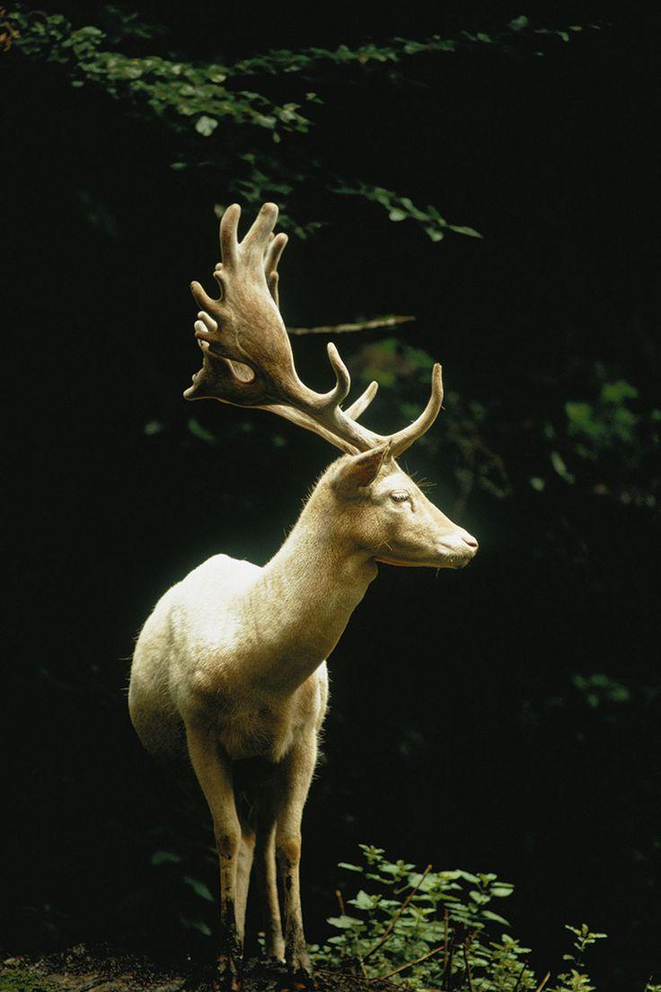 #2 Um veado branco na floresta da Suíça, 1973.