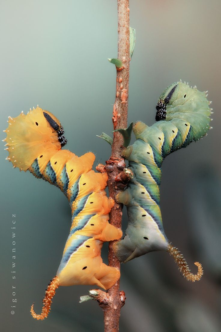 Death's Head caterpillars, Acherontia atropos photographed by Igor Siwanowicz
