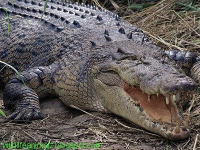 Saltwater Crocodile Dangerous Face