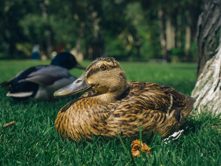 Duck, Grass, Closeup, Tranquility, Vacation
