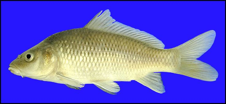 Image result for COMMON CARP