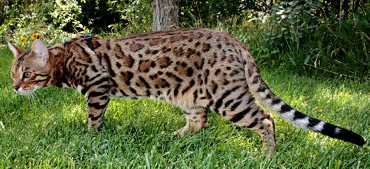 Cat of the week – The graceful Bengal cat – The Cutest