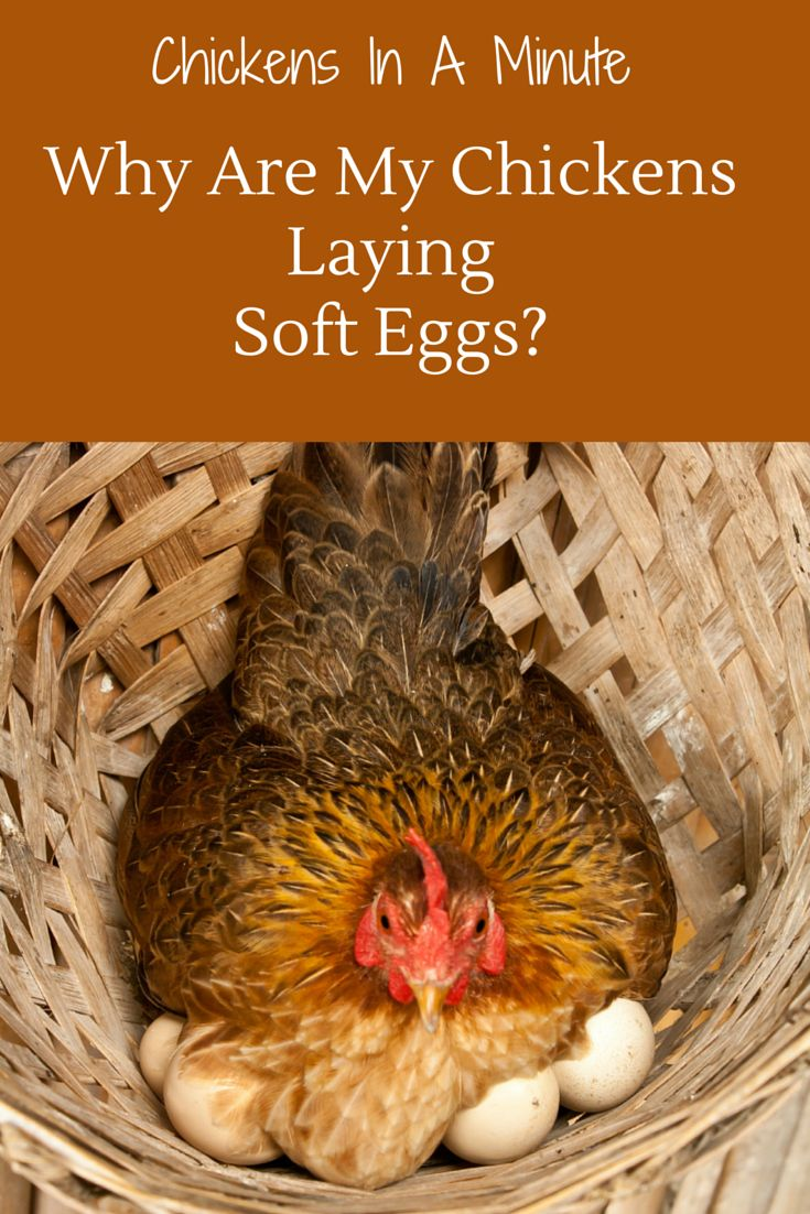 134 best chickens 101 images on pinterest backyard chickens
