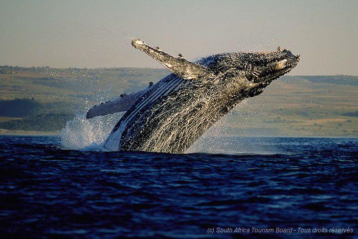 Baleine à bosse, en Afrique du Sud