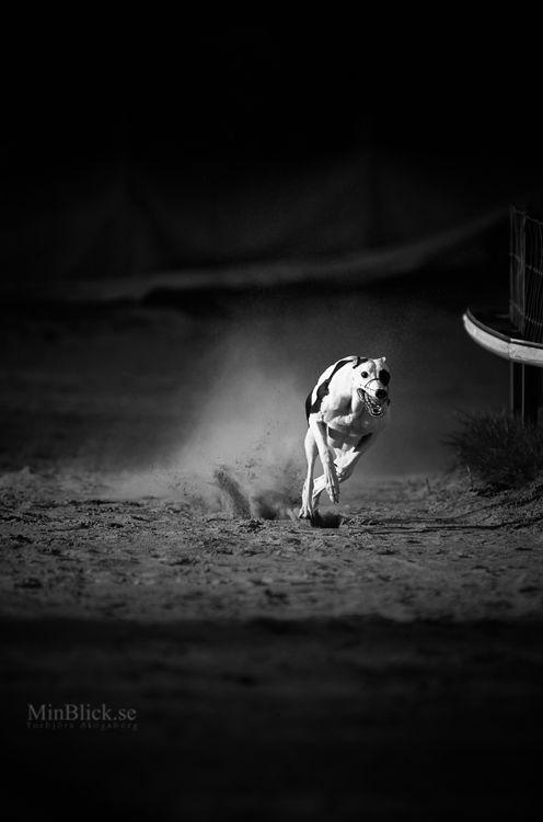 Greyhound. By Torbjorn Skogsberg.