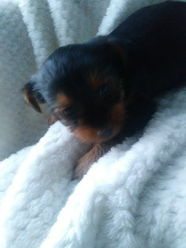 Shorkie Tzu-Yorkshire Terrier Mix puppy for sale in BELLEVILLE, PA. ADN-68678 on PuppyFinder.com Gender: Female. Age: 7 Weeks Old