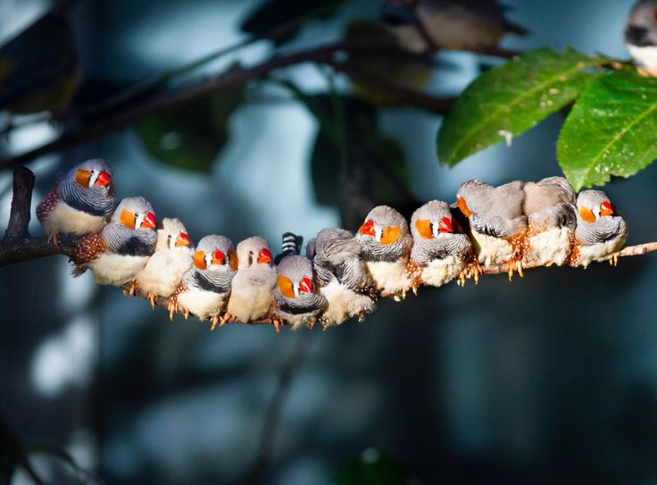 UV vision is a key ingredient to Zebra Finch attraction. And by the looks of this photo, it's pretty effective. [Photo: Sagar Simkhada /Alamy] Researchers have figured out how some species of birds deploy UV vision.